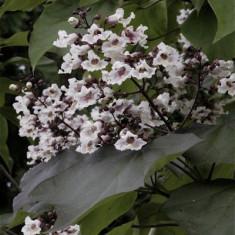 Catalpa bignoninoides Purpurea – catalpa rosie