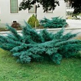 Juniperus pf Pfitzeriana Glauca - ienupar