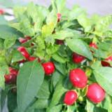 "Seminte ardei dulce "" red cherry"" - Seminte ardei iute"