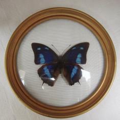 Insectar - fluture mascul din specia POLYGRAPHA CYANEA - Peru, America de Sud