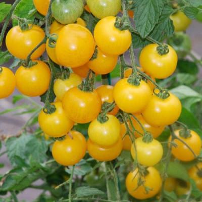 "Seminte rosii "" Currant Gold Rush "" foto"