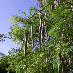 Seminte Moringa Oleifera