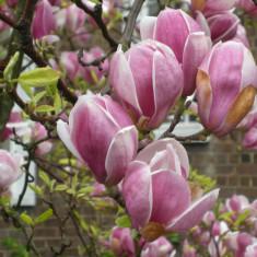 Magnolia soulangeana - Magnolia - Magnolie