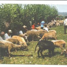 @ carte postala-GAUDEAMUS-MARAMURES-Sambra oilor-Obicei popular