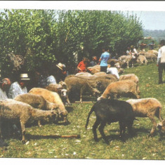 @ carte postala-GAUDEAMUS-MARAMURES-Sambra oilor-Obicei popular - Carte postala tematica, Necirculata, Printata