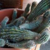 Pui cactus