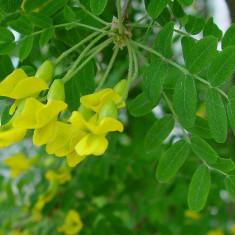 Caragana arborescens – Caragana, Arborele-mazare siberian