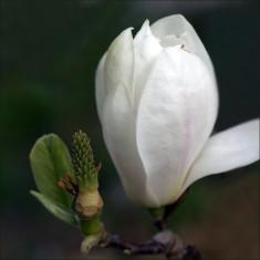 Magnolia soul. Alba Superba – magnolia alba