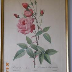 4 gravuri trandafiri, autor P.J.Redoute, 40x30cm.,inramate,cu geam, Flori, Acuarela, Realism