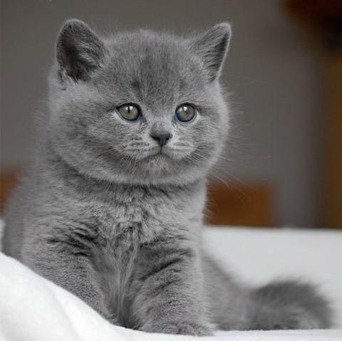 Pisici British Shorthair Bucuresti Brasov Iasi Oradea