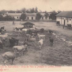 FERMA SCOLEI CENTRALE DE AGRICULTURA-GRUP DE VACI LA ADAPAT IN CURTEA FERMEI - Carte Postala Muntenia pana la 1904, Bucuresti, Necirculata, Printata
