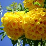 Seminte rare de Tecoma Stans - 3 seminte pentru semanat