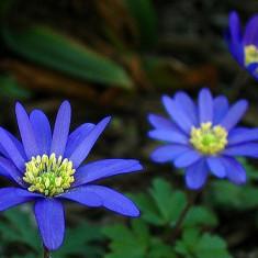 Seminte de Cosmos amestec toate culorile- 8 seminte pt semanat