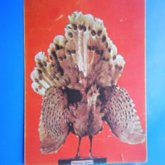 HOPCT 17782 BUCURESTI /MUZEUL GR ANTIPA /PAUN CU OGLINDA -SUMATRA -NECIRCULATA - Carte Postala Muntenia dupa 1918, Printata