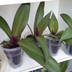 Rhoeo spathacea - sabiuta purpurie