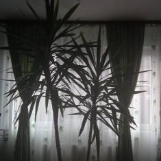Planta Yucca, inaltime 2.4m