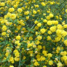 TEISOR ( Kerria japonica ) - arbust ornamental cu flori galbene *