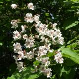 PUIETI CATALPA ( Catalpa bignonioides ) - arbore decorativ *