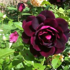 Trandafir Burgundy Ice an 2 - Trandafiri