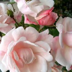 Trandafir rambler New Dawn - Trandafiri