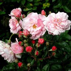 Trandafir Cornelia (Hybrid Musk) - Trandafiri