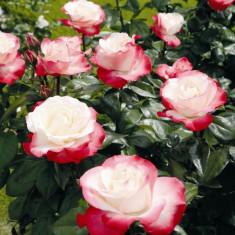 Trandafir Nostalgie Evers by Tantau - Trandafiri