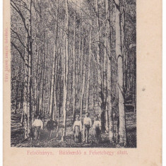 #1906- Romania, Felsobanya, Baia Sprie c.p. necirculata: Padurea Bukk, animat - Carte Postala Maramures pana la 1904, Fotografie