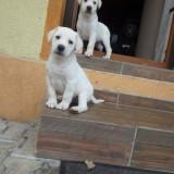 Pui Labrador Retreiver 7 saptamani - Caine, Gen: Femela