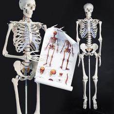 Model anatomic schelet uman - model Gica