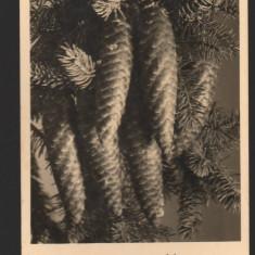 CPI (B7747) CARTE POSTALA - CONURI DE BRAD - Carte Postala Muntenia dupa 1918, Necirculata, Fotografie
