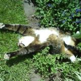 Seminte rare - Menta pisicii - Catnip- 5 seminte pentru semanat