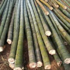 Seminte rare - Moso Bambus - Phyllostachys pubescens - 5 seminte