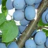 Tuica de prune 100%