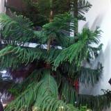 Vand brad de camera Araucaria Heterophylla