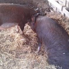 Porci rosii de carne - Rase porci