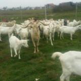 Vand cu 700 lei /bucata capre saanen urgent cu 3 tapi originali. - Oi/capre