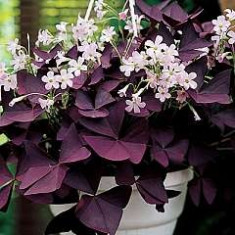 OXALIS TRIANGULARIS RED 10 bulbi & 10 Ron