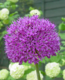 Bulbi ALIUM PURPLE SENSATION cu  5  Ron/pachet 2 bulbi