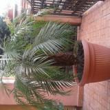 Vand palmieri de  6-8ani