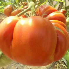 Seminte de rosii uriase. - Seminte rosii