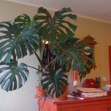 REDUCERE: Planta naturala Monstera / Filodendron, tanara, sanatoasa