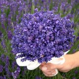 Seminte lavanda -PROVENCE BLUE