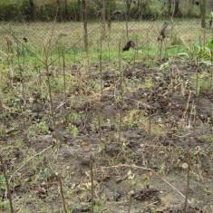 Puieti nuc negru pt altoit - Arbusti fructiferi