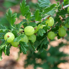 Ribes uva-crispa Hinnomaki Grun - agris verde - Arbusti fructiferi