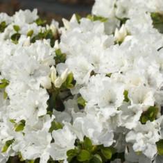 Rhododendron Panda – azalee alba