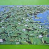 HOPCT 25281 NUFERI IN DELTA DUNARII -JUD TULCEA-NECIRCULATA - Carte Postala Dobrogea dupa 1918, Printata