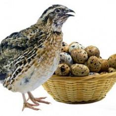 Vand oua de prepelite pentru consum si incubat, Pui, tineret, prepelite ouatoare - Prepelita