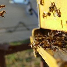 Vând familii de albine