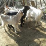 Vand 3 ieduti (masculi) incrucisare cu rasa Saanen - Oi/capre