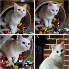 Pisica Angora - Pisica de vanzare